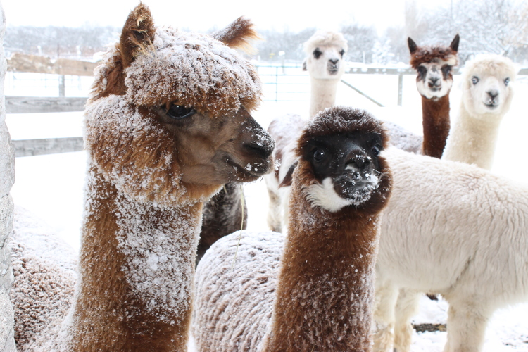 Five alpacas outdoors in the snow in their paddock